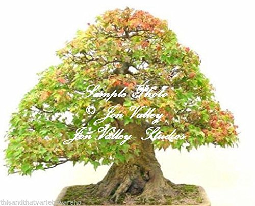 Acer buergerianum 25 Seeds Trident Maple Tree Bonsai -Standard Stunning Fall Color