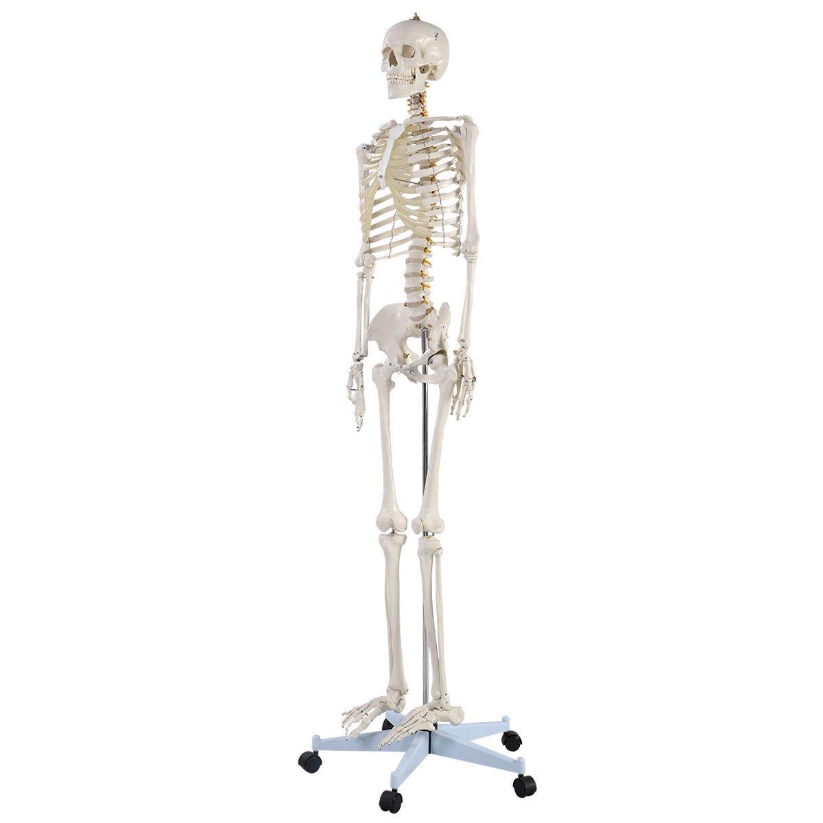 Amazon.com: Giantex Life Size Human Anatomical Anatomy Skeleton ...