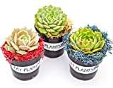 """3 Different Desert Rose Plants - Echeveria - Easy to grow/Hard to Kill! -3"""" Pots"""