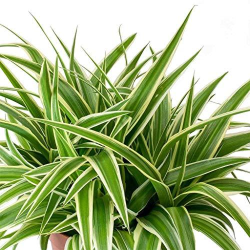 Spider Plant Variegated - Chlorophytum comosum Hanging Live Plant Fit 6
