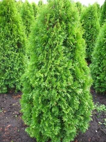 Platz 2 – Smaragd Lebensbaum Thuja occidentalis Smaragd (125-150 cm hoch)