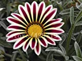 200PCS Gazania rigens seeds Flowers Seeds For Bonsai Garden Balcony 2015 Semillas Gazania Splendens for home garden planting