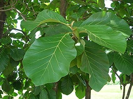 Amazon Com 50 Tectona Grandis Seeds Teak Tree Seeds Teak