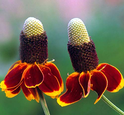 Mexican Hat Red and Yellow Wildflower bin284 (800 ()