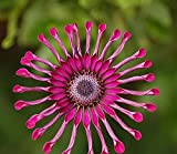 Solution Seeds Farm Rare Heirloom Flower 'Power Spider' Purple Chrysanthemum Seeds, Professional Pack, 100 Seeds / Pack, Mosquito Repellent