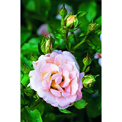 Drift Roses - Rosa Peach Drift (Rose) Rose, double peach flowers, #2 - Size Container : Garden & Outdoor