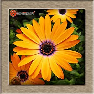 Hot Selling Osteospermum Seeds Potted Flowering Plants Blue Daisy Flower Seeds for DIY Home & Garden - 50 PCS