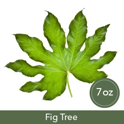 Fig Tree 7 oz Glass Cup Soy ()