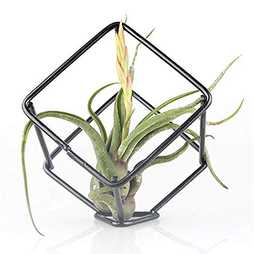 NCYP Rustic Style Freestanding Hanging Metal Tillandsia Air Plant Rack Holder Black Bronze 3.15inches x 3.15inches Height Quadrilateral Cube Shape Geometric (Black) No Plants