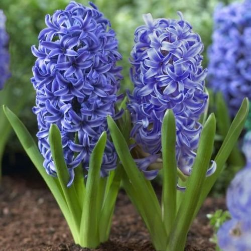 Have one to Sell? Sell Now - Have one to Sell? 6 Blue Jacket Hyacinth Bulbs Quality Blooming Size 12-17 cm Fall Planting by thecountrygardenshop