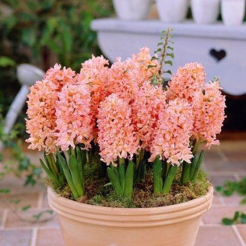 Hyacinth Gypsy Queen,(10 Bulbs) Heirloom Hyacinth with Salmon Pink - Hyacinth Bulb