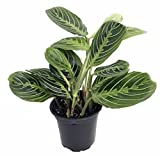 Lemon Prayer Plant - Maranta - Easy to grow - 4'' Pot