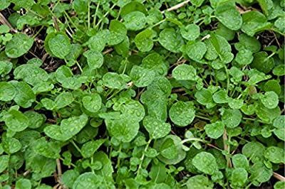 Land Cress (Barbarea Verna) Herbal Plant Seeds, Culinary Herb Heirloom