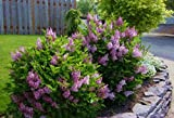 full shade shrubs Palibin Dwarf Korean Lilac (Syringa) - Quart Pot