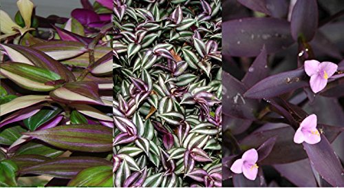 3 Types Variety Lot - Wandering Jew Sailor Tradescantia House Plant - EZ Care by rianiq07