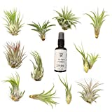 NW Wholesaler - 12 Pack Assorted Tillandsia Air Plants with Air Plant Fertilizer