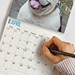 2020 Bulldogs Wall Calendar by Bright Day, 16 Month 12 x 12 Inch, Cute Dogs Puppy Animals English British 15