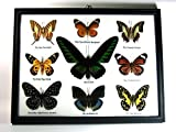 9 Real Butterfly Taxidermy Display in Frame for Collectible Gift #02
