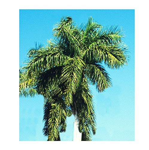 (Royal Palm 8 or 15 seeds Tropical Plant Indoor container or Outdoor Gardening Bright Green Roystonea regia (15))