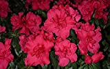 Azalea Rhododendron 'Prize' Qty 40 Live Flowering Evergreen Plants