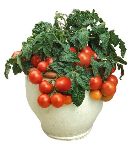 - 30+ ORGANICALLY Grown Dwarf Tiny Tim Tomato Seeds Determinate Heirloom Non-GMO Sweet Mini from USA