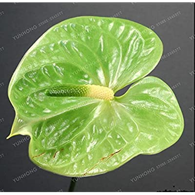 100 Pcs Rare Flower Bonsai Pink Green Anthurium Bonsai Balcony Potted Flower Bonsai for DIY Home