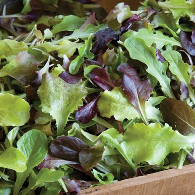 David's Garden Seeds Lettuce Allstar Gourmet Mix D2301ABN (Reds Greens) 1000 Open Pollinated Seeds