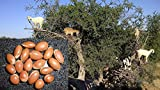5 Seeds: Fresh argania spinosa Seeds, argan Oil, argan Seeds, argan Tree, Harvest 09/18