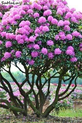 GO Jardin 100 pcs/Sac 24 Sortes Japon Azalea Rhododendron ...