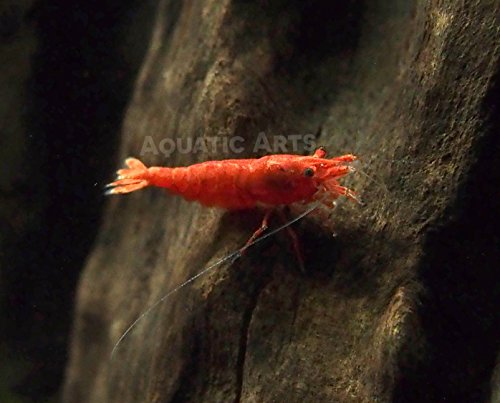 Freshwater Red Shrimp (20 Live Sakura Fire Red Cherry Shrimp (Neocaridina davidi) - Breeding Age Young Adults at 1/2 to 1 Inch Long by Aquatic Arts)