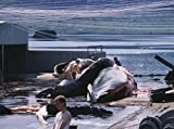 Men curing a whale in Hvalfjordur, Iceland 30x40 photo reprint