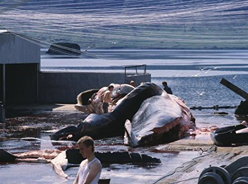 Men curing a whale in Hvalfjordur, Iceland 30x40 photo reprint by PickYourImage
