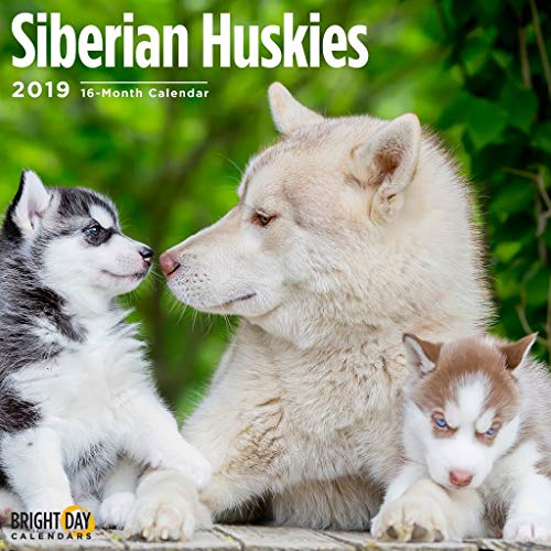 Siberian Huskies 2019 16 Month Wall Calendar 12 x 12 Inches