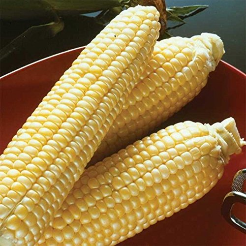 Sugar Buns Hybrid F1 Corn Seeds - unbelievably sweet kernels!!! Delicious!!! (25 - Seeds) (Corn Hybrid Seed)