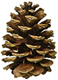 Winter Woods 44019 Ponderosa Pine Cones 8/Pkg-Natural