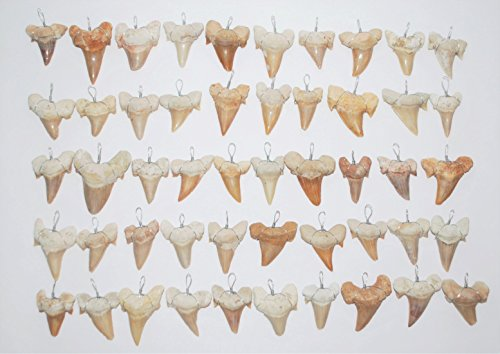 OTODUS Shark Tooth Pendants LOT of 50 Real Fossils 1 Inch (B)#13808 24o ()
