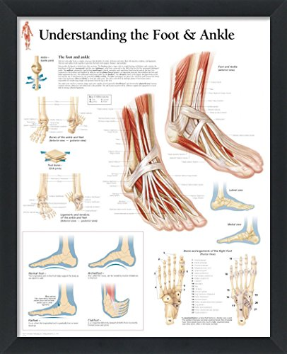 wallsthatspeak Understanding the Foot and Ankle Framed Medical Educational Informational Poster Diagram Doctors Office School Classroom 22x28 Inches by wallsthatspeak