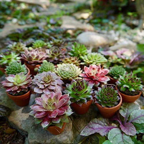 20 Plants of Mini Succulent Planted Pots by Coral LLC (Image #1)