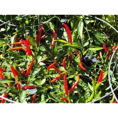 Plant Jalapeno Hot Pepper Organic Non-GMO Live Plant : Garden & Outdoor