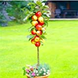 Kofun Flower Vegetable Fruit Seeds Petal Plants Home Garden Yard Decor Columnar Apple Tree Seeds - 20 Pieces