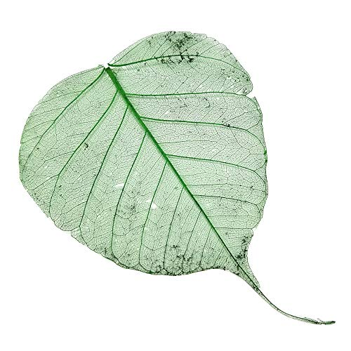 Ogis Florist 100pcs Natural Skeleton Artificial Leaves for Craft Card. Scrapbook. Decorative DIY, Wedding Card (Green) -