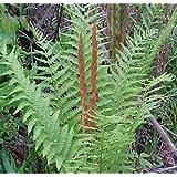 Shade Loving Perennials, Hardy Ferns, Cinnamon Fern Root, Plant, Start