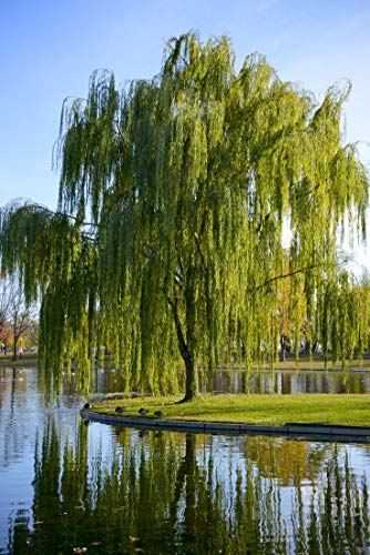 (2 Gallon Bare-Root) Weeping Willow Tree, drooping Branches give The Tree a Distinctive Shape. Great for use as a Focal Point and in Areas That are Moist. ()