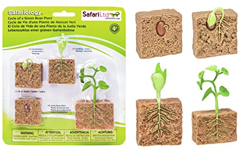Safari Ltd  Life Cycle of a Green Bean Plant