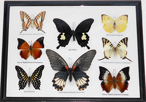 GABUR Set Real 8 Mix Butterflies Collection Gifts Taxidermy Display in Frame 12.8 x 9.85 x 0.78 Inches Black
