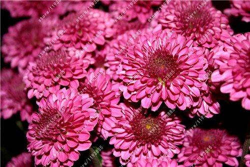 100pcs/bag Ground-cover chrysanthemum seeds, chrysanthemum perennial bonsai flower seeds daisy potted plant for home garden 3
