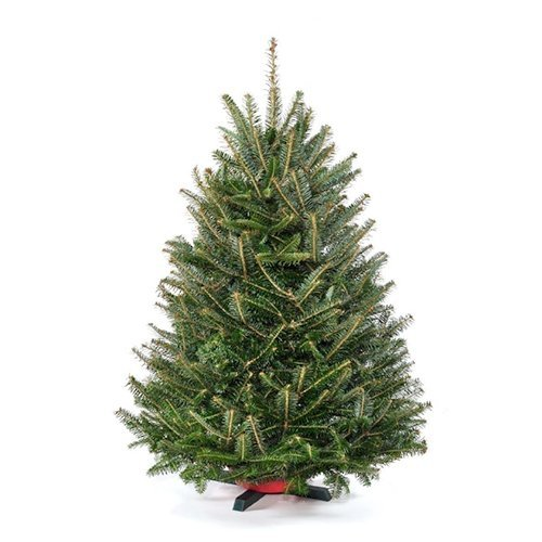 Live Christmas Trees - 3 ft. Tabletop Premium-grade Real Christmas Tree (Stand Included)