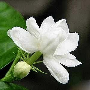 Leaftree Semillas de jazmín, 10 unidades/paquete Arbusto ...