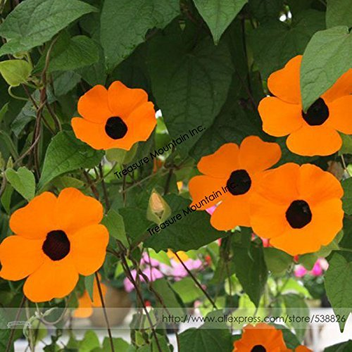Heirloom Yellow Orange White 'Dream' Morning Glory Climbing Annual Flower with Black Eye Seeds, Professional Pack, 10 Seeds