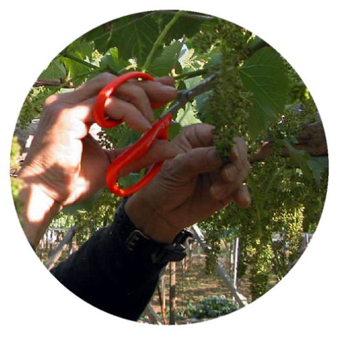 CHIKAMASA professional horticultural stainless grape scissors 155mm B-300S (japan import) by CHIKAMASA (Image #2)